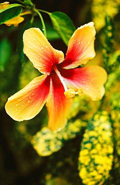Tropical Hibiscus (Hibiscus sp.), Honduras
