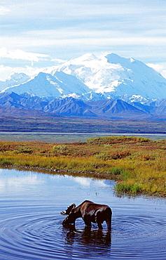 Moose (Alces alces), Mount McKinley, Denali National Park, Alaska, USA