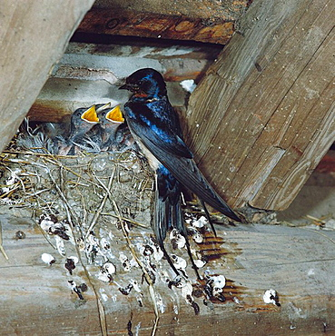 Barn Swallow (Hirundo rustica) at nest, Sussex, England, UK