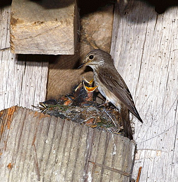 Spotted Flycatcher (Muscicapa striata) at nest, Sussex, England, UK