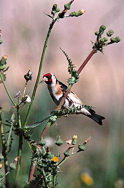 Goldfinch (Carduelis carduelis), Lesbos, Greece