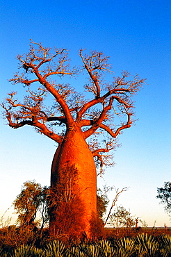 Za Baobab (Adansonia za), Berenty, South Madagascar