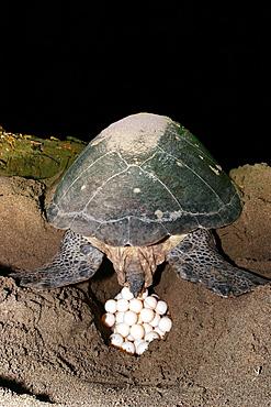 Sea turtle ou green turtle, (Chelonia mydas), Mayotte, Indian Ocean.