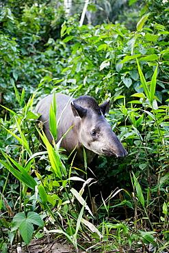 Brazilian tapir (Tapirus terrestris)