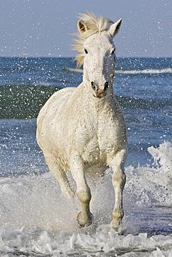 Camargue horse, Saintes-Maries-de-la-Mer, Camargue, Bouches du Rhone, France.