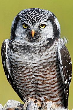 Northern Hawk Owl (Surnia ulula), Seward Peninsula, Alaska, USA