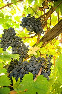 Italy, Abruzzo, near Pescara, Ripe purple grapes on the vine.