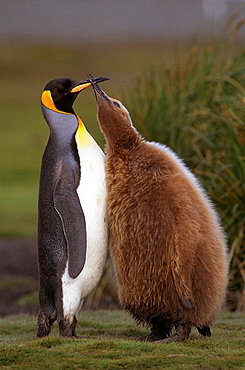 King Penguin (Aptenodytes patagonica) and chick
