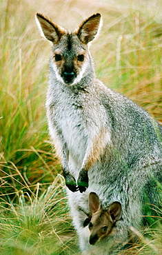 Red necked Wallaby (Macropus rufogriseus), Australia