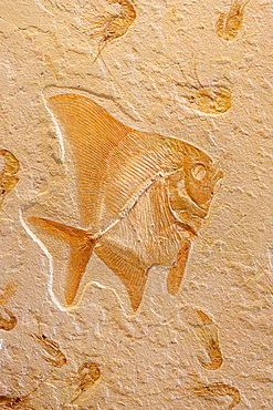 Fossil Fish (Tselvatia) with Shrimp (Carpopenaus) - Lebanon - Cretaceous