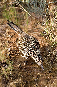 Greater Roadrunner (Geococcyx californianus), Arizona, Drinking at pond, Large-crested.terrestrial bird of arid Southwest, Common in scrub desert and mesquite groves, Seldom flies, Eats lizards.snakes and insects.