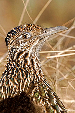 Greater Roadrunner (Geococcyx californianus), Arizona , Large.crested.terrestrial bird of arid Southwest , Common in scrub desert and mesquite groves , Seldom flies .Eats lizards.snakes and insects