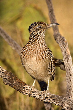 Greater Roadrunner (Geococcyx californianus), Arizona, Perched on cholla cactus branch, Large-crested terrestrial bird of arid Southwest, Common in scrub desert and mesquite groves, Seldom flies, Eats lizards, snakes and insects.