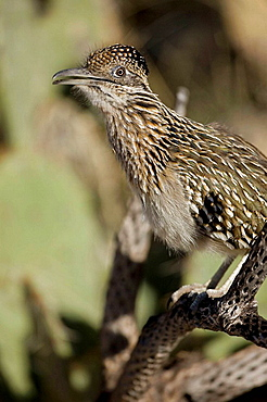 Greater Roadrunner (Geococcyx californianus) Calling - Sonoran Desert - Arizona - USA - Perched on branch - Large-crested-terrestrial bird of arid Southwest - Common in scrub desert and mesquite groves - Seldom flies -Eats lizards-snakes and insects