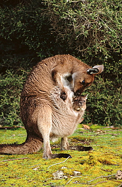 Western Grey Kangaroos (Macropus fuliginosus), mother and joey
