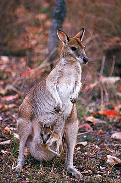 Agile Wallaby (Macropus agilis) with young