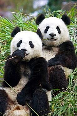 Giant Panda (Ailuropoda melanoleuca), China.