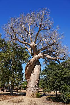 Lovers Baobab (Baobab Amoureux), Adansonia za tree near Kirindy Forest, Morondava, Western Madagascar, Africa