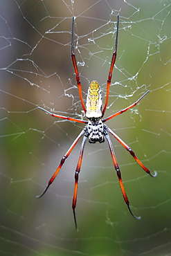 Madagascar Golden Orb Weaver (Nephila inaurata madagascariensis) female on the web, Isalo National Park, Southern Madagascar, Africa