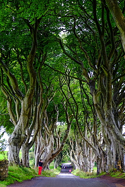 The Dark Hedges, an avenue of beech trees, Game of Thrones location, County Antrim, Ulster, Northern Ireland, United Kingdom, Europe