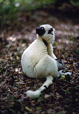Verreaux's Sifaka (Propithecus verreauxi) all white juvenile sitting on forest ground, Berenty Reserve, Southern Madagascar, Africa