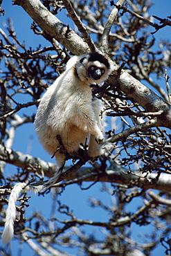 Verreaux's Sifaka (Propithecus verreauxi) feeding on tree, Berenty Reserve, Southern Madagascar, Africa