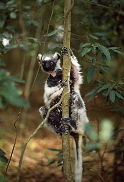 Verreaux's Sifaka (Propithecus verreauxi), an elderly granddad, in dry deciduous forest, Berenty Reserve, Southern Madagascar, Africa
