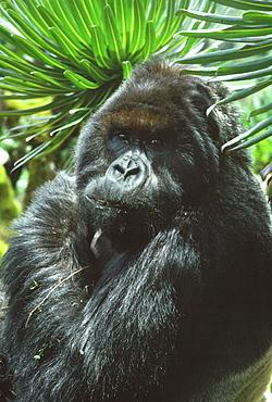 Silverback male Mountain Gorilla (Gorilla g. beringei) known as Peanuts, in sub-alpine zone, Virunga Volcanoes, Rwanda, Africa