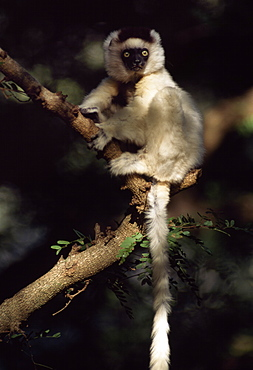Verreaux's Sifaka (Propithecus verreauxi) sitting on tree, Berenty Reserve, Southern Madagascar, Africa