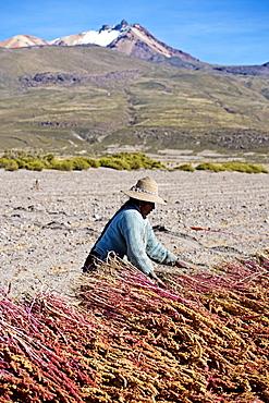 Farming quinoa, a super food, on the Bolivian Altiplano, Bolivia, South America