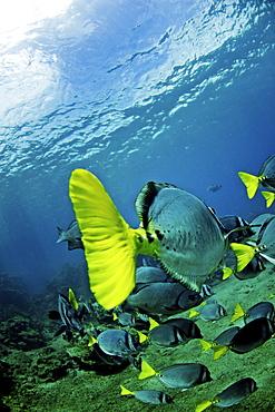 Razor Surgeonfish off Bartolome Island, Galapagos, Ecuador, South America