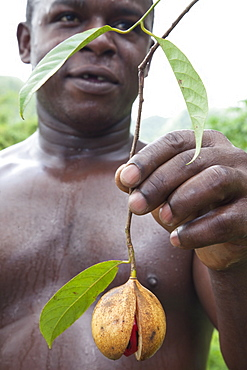Grenadian farmer holding fruit containing the seed of nutmeg, with red covering of mace, Grenada, West Indies, Central America