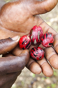 Nutmeg, from the tree genus Myristica, with mace covering the seed, in palm of a man's hand, Grenada, West Indies, Caribbean, Central America