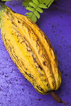 Yellow cacao pod against a blue background