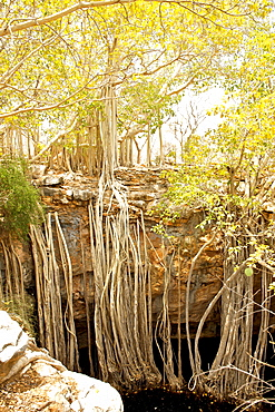 Roots of a banyan tree (Strangler Fig) (Ficus benghalensis) reaching down over a ledge into a rock pool, Tsimanampesotse National Park in southwestern Madagascar, Madagascar, Africa