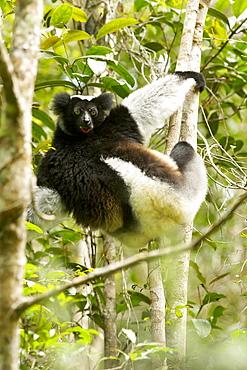 Indri (Indri indri) in the Andasibe-Mantadia National Park in eastern Madagascar, Madagascar, Africa