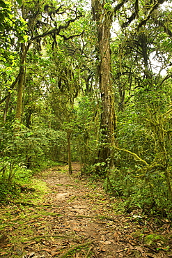 Walking trail in the rainforests of Bwindi Impenetrable National Park in southern Uganda.
