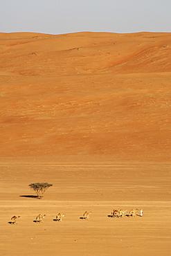 A bedouin leading his Arabian camels (Camelus dromedarius) across Wahiba Sands (Ramlat al Wahaybah) in Oman.