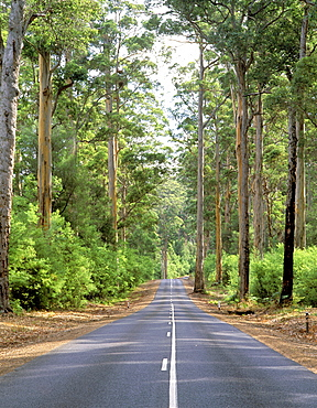 Road through a Eucalyptus forest in the Walpole region, Western Australia, Australia, Pacific