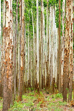 Eucalyptus plantation off the R535 between Graskop and Hazyview in South Africa.