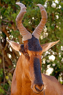 A red hartebeest (Alcelaphus buselaphus) in Addo Elephant Park in South Africa.