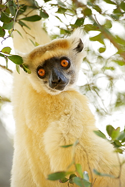 Golden-crowned sifaka (Propithecus Tattersalli) in the trees of the Daraina Reserve in northeast Madagascar, Madagascar, Africa