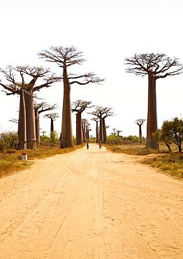 Avenue of the Giant Baobabs near Morondava in southwestern Madagascar, Madagascar, Africa
