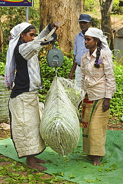 Plantation Tamil women weighing prized Uva tea in the Namunukula Mountains near Ella, Central Highlands, Sri Lanka, Asia