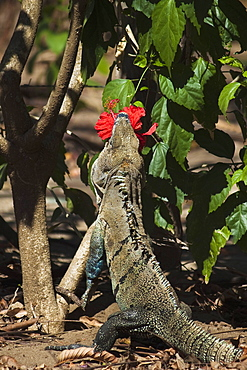 Large Black Ctenosaur or Iguana Negra eating red Hibiscus flower near Nosara, Nicoya Peninsula, Guanacaste Province, Costa Rica
