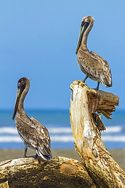 Pair of Brown Pelicans (Pelecanus occidentalis) perched at the Nosara River mouth, Nosara, Guanacaste Province, Costa Rica, Central America