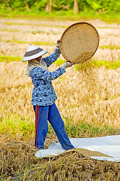 Female farm worker in conical hat winnowing rice in fields near Pangandaran, West Java, Java, Indonesia, Southeast Asia, Asia
