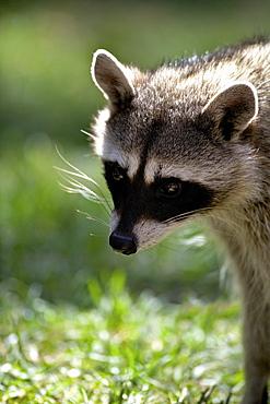 Portrait of common raccoon (Procyon lotor), Bearizona Wildlife Park, Williams, Arizona, United States of America, North America