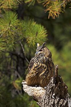 Eurasian eagle-owl (Bubo bubo), Bearizona Wildlife Park, Williams, Arizona, United States of America, North America