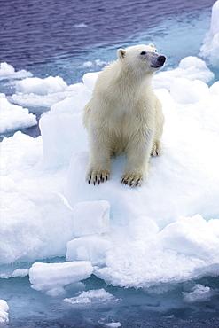 Polar bear on sea ice off coast of Spitzbergen, Svalbard, Arctic Norway, Scandinavia, Europe